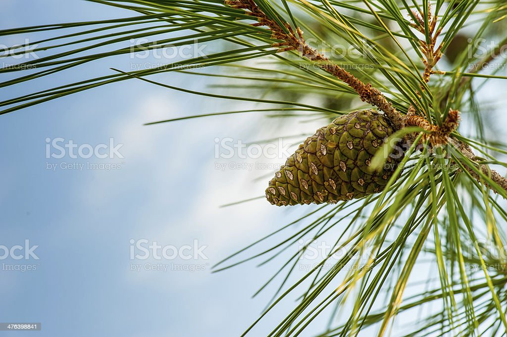 Cedar Cone royalty-free stock photo