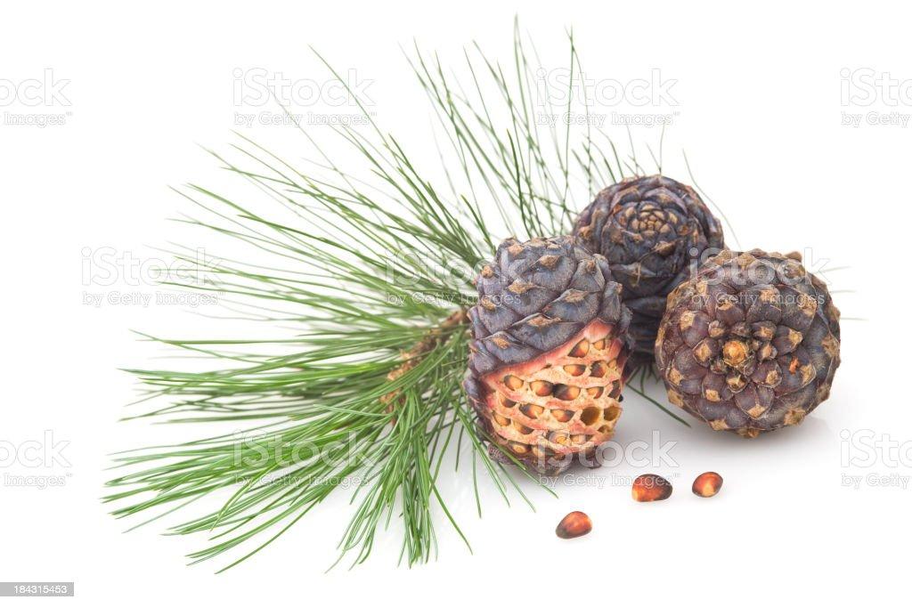 Cedar cones stock photo