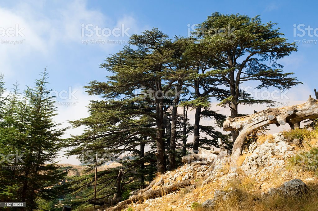 Cedar forest in Lebanon near Bcharre stock photo