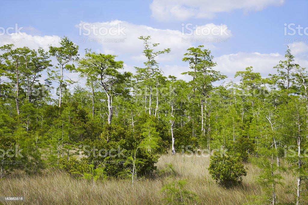 Cedar forest royalty-free stock photo