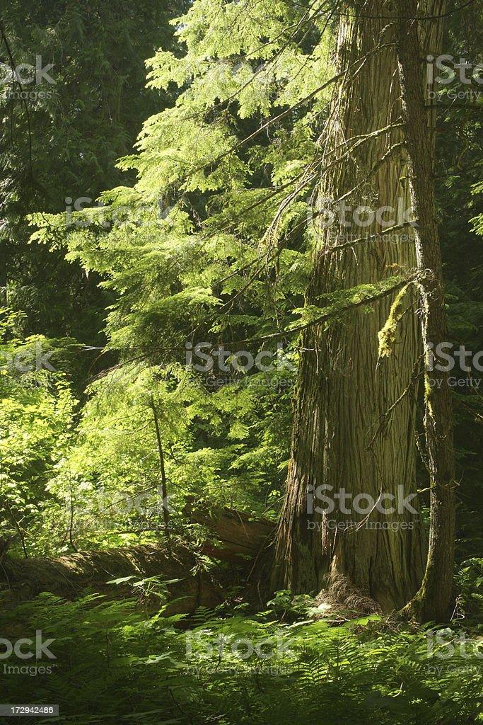 Cedar Forest Sunbeam Wilderness Tranquility stock photo
