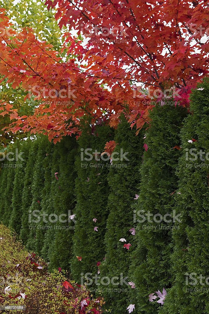 Cedar Hedge and Maple trees stock photo