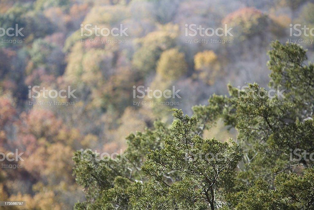 Cedar in Fall stock photo