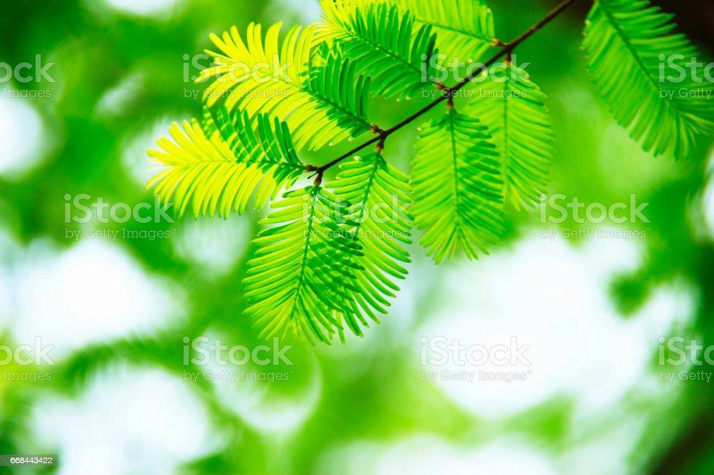 Cedar leaf stock photo