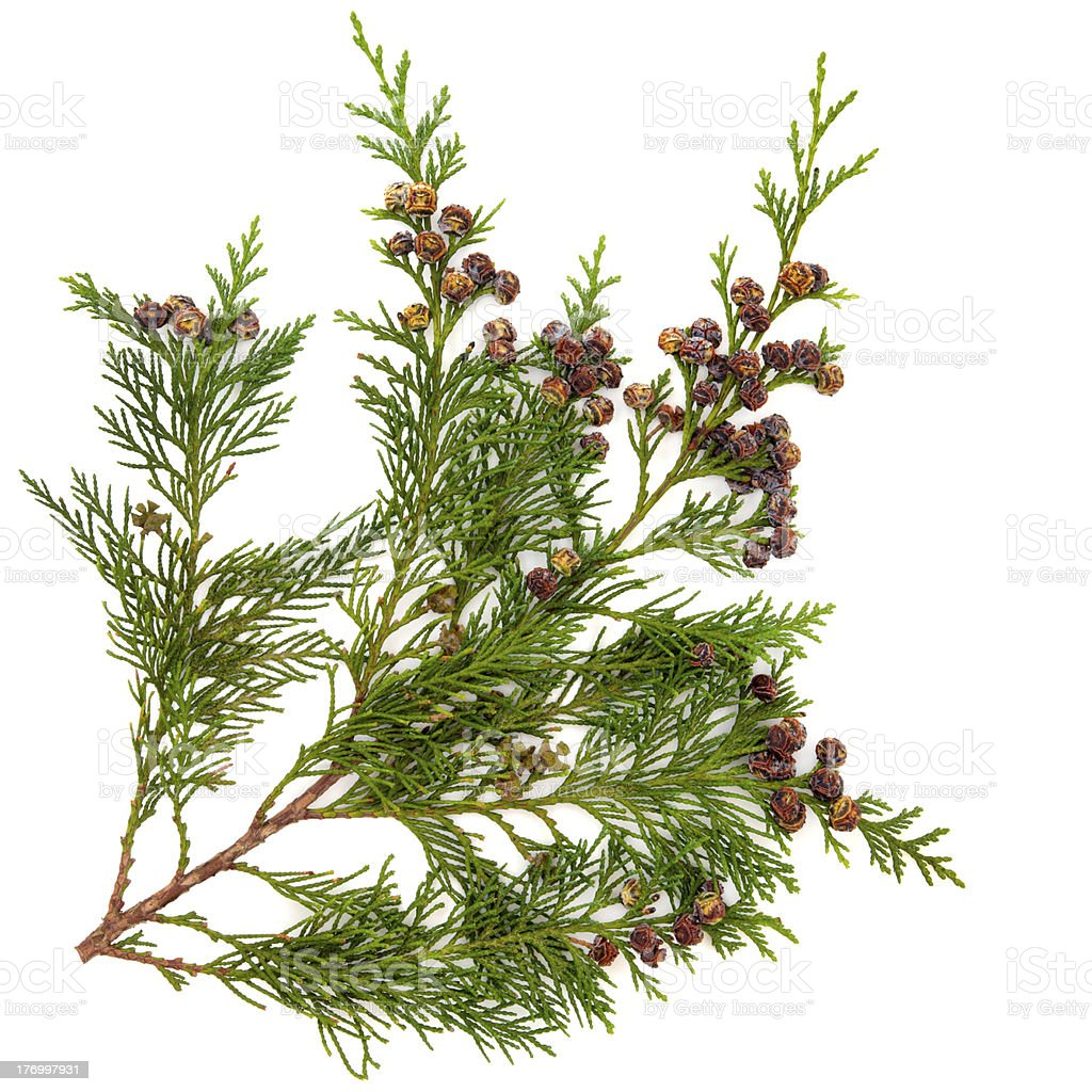 Cedar Leaves stock photo