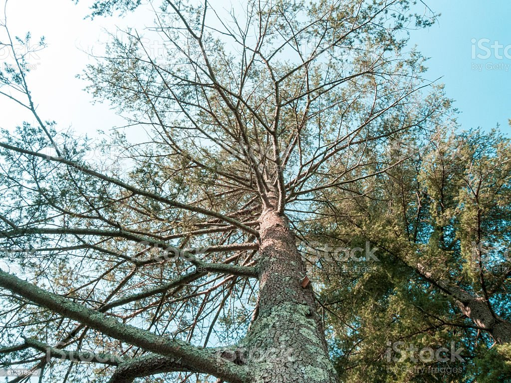 Cedar of Labanon trees overhead stock photo