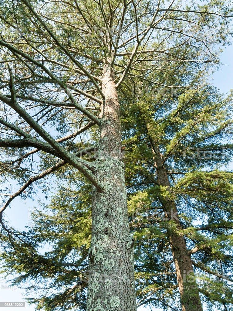 Cedar of Lebanon trees stock photo