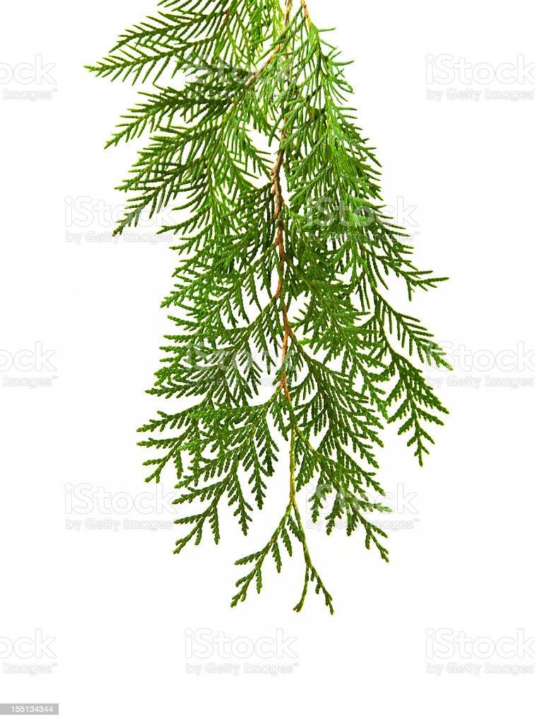 Cedar on White stock photo