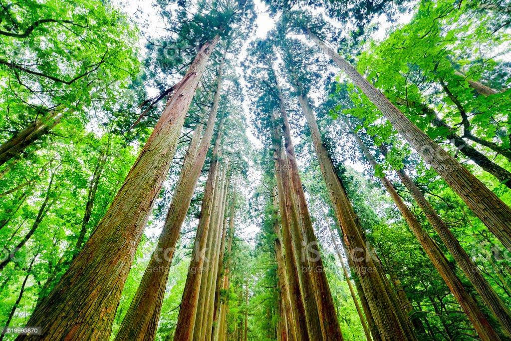 Cedar foto de stock royalty-free