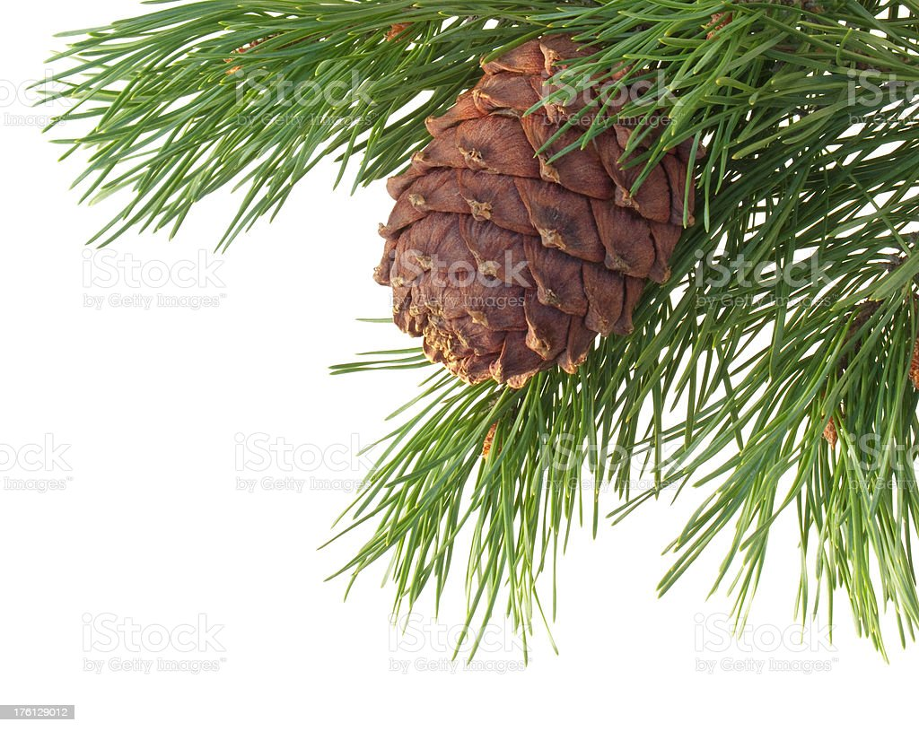 Cedar pine branch with cone royalty-free stock photo