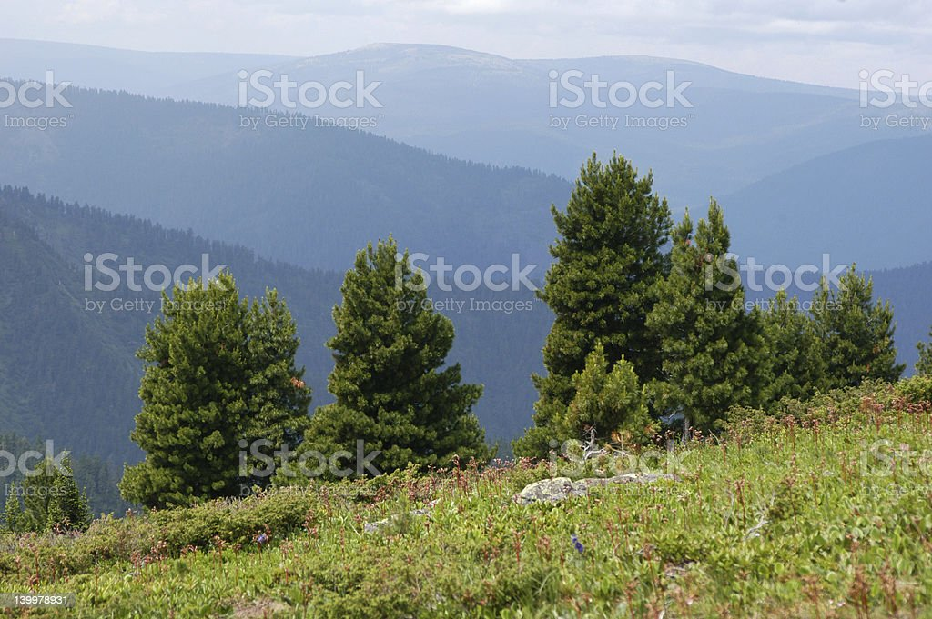 Cedar Pines stock photo