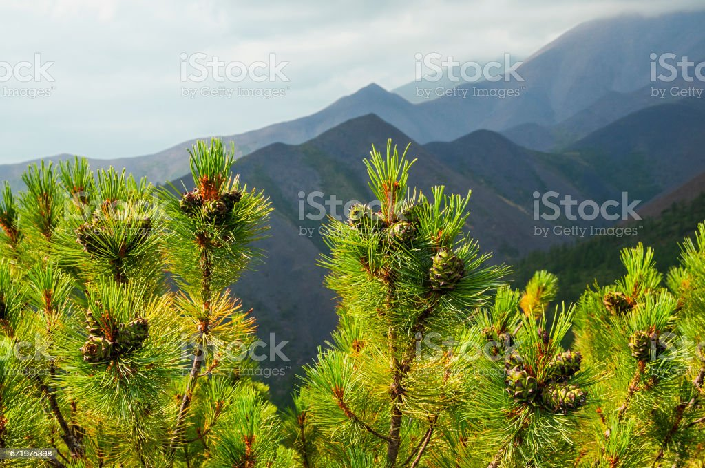 Cedar stlanik in the mountains of Eastern Siberia (Yakutia) stock photo