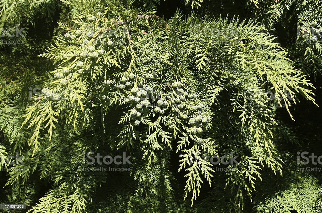 Cedar Tree Branch royalty-free stock photo