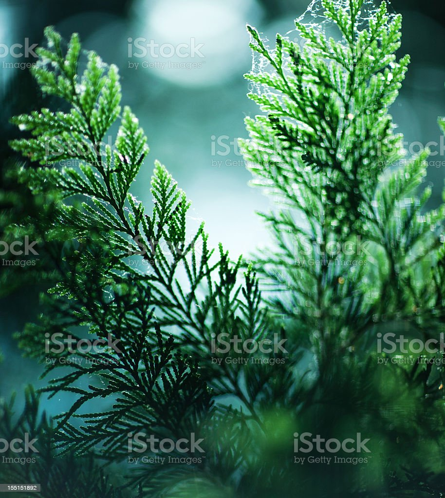 Cedar tree branches stock photo