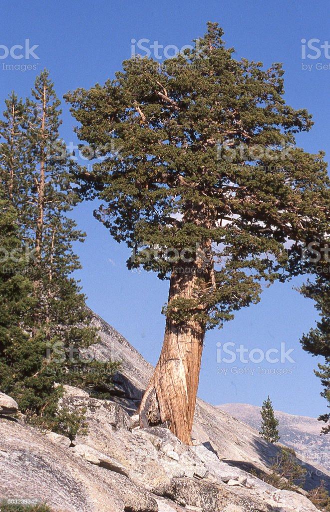 Cedar Tree growing on granite dome Yosemite National Park California stock photo