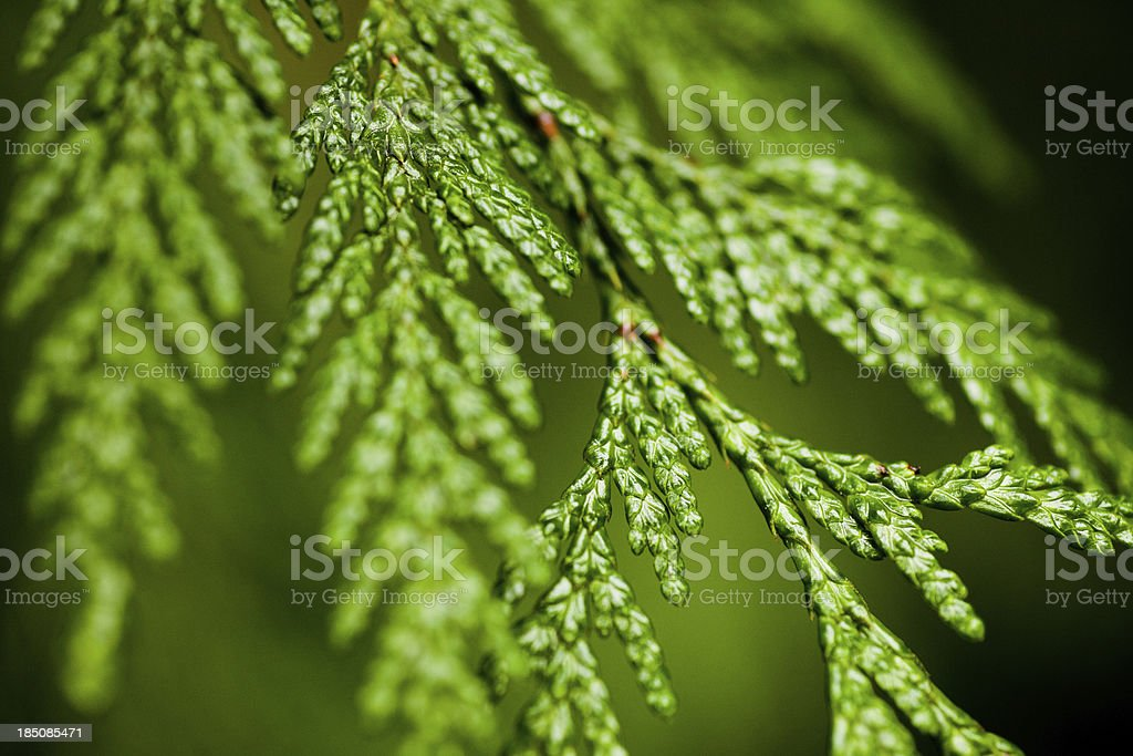 Cedar tree leaves stock photo