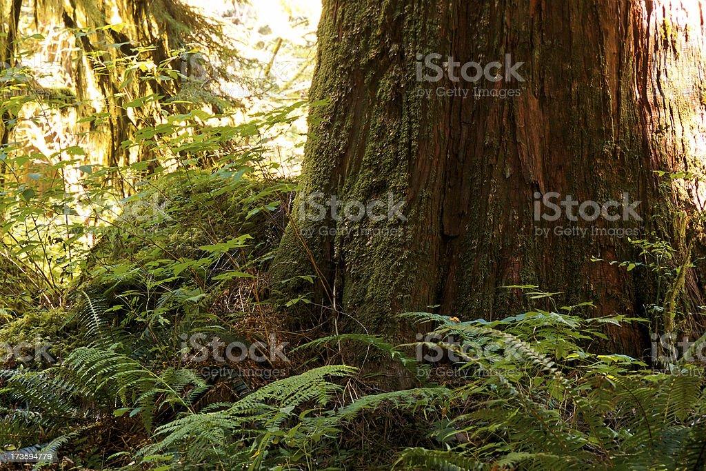Cedar Tree royalty-free stock photo