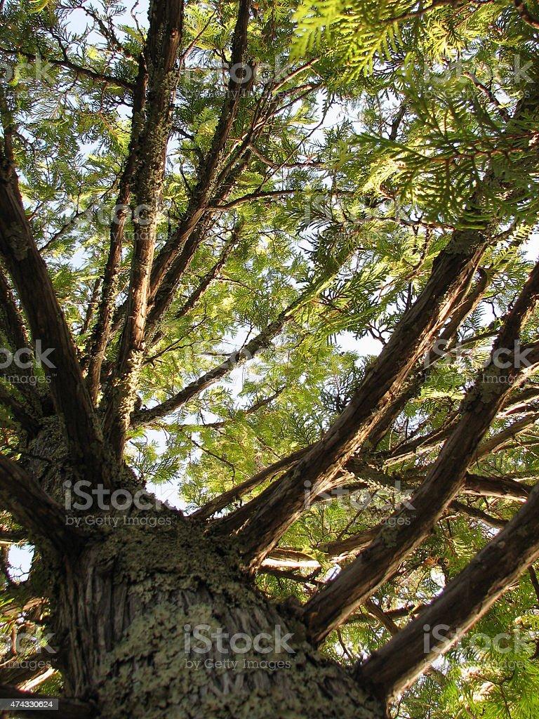 Cedar tree stock photo
