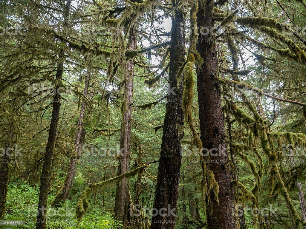 Cedar Trees Ketchikan Alaska Rainforest stock photo