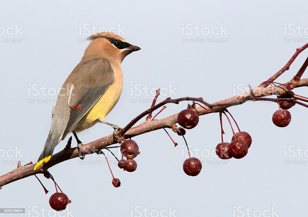 Cedar waxwing bird perched crab apple fruit tree Littleton Colorado stock photo