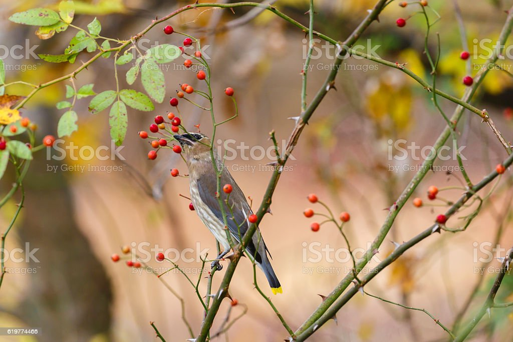 Cedar Waxwing (Bombycilla cedrorum) Perched In a Berry Bush stock photo