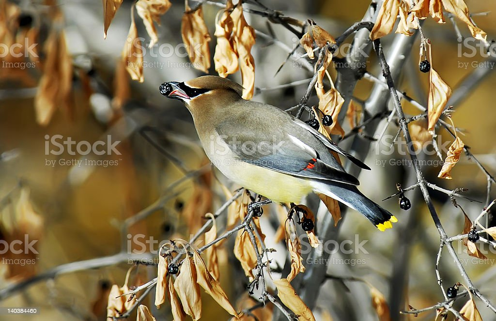 Cedar Waxwing royalty-free stock photo