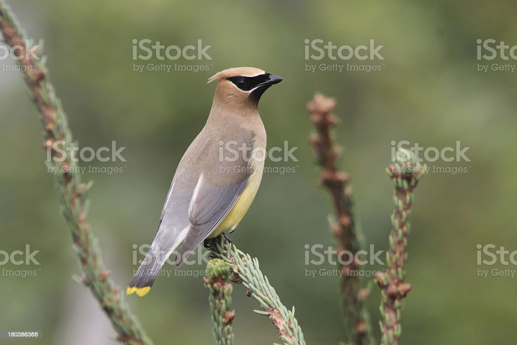 Cedar Waxwing stock photo