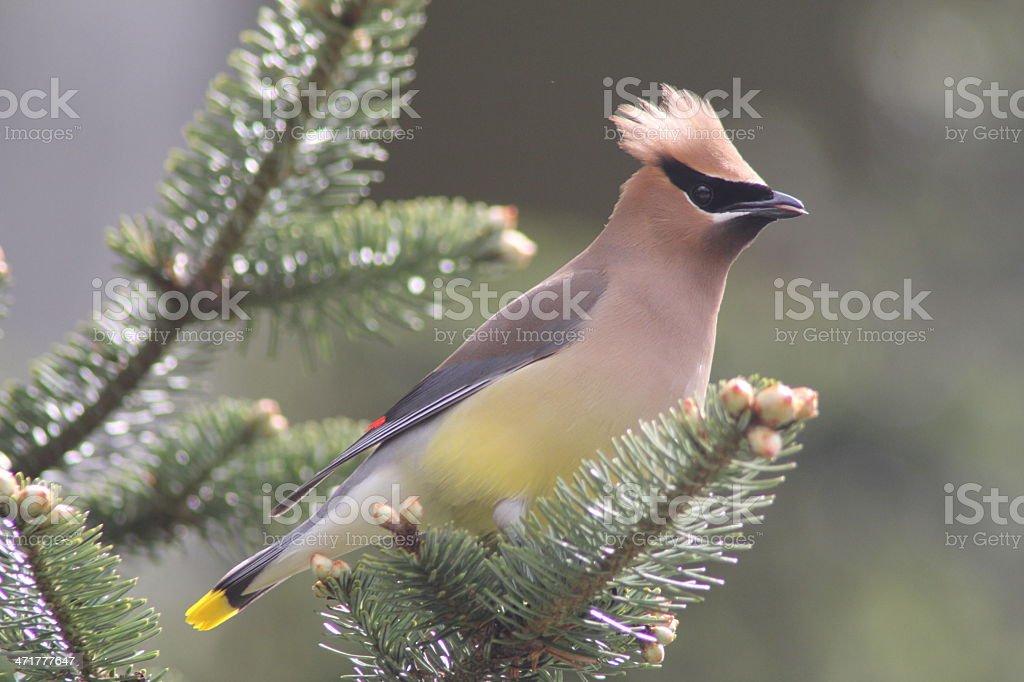 Cedar Waxwing royalty-free stock photo