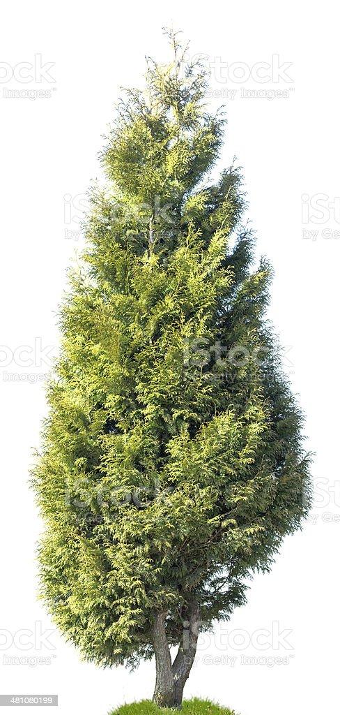Cedar: Western Arborvitae (Thuja plicata) isolated on white. stock photo