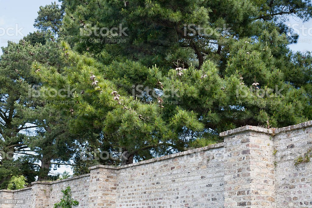 Cedars behind the wall of Ashtown garden royalty-free stock photo