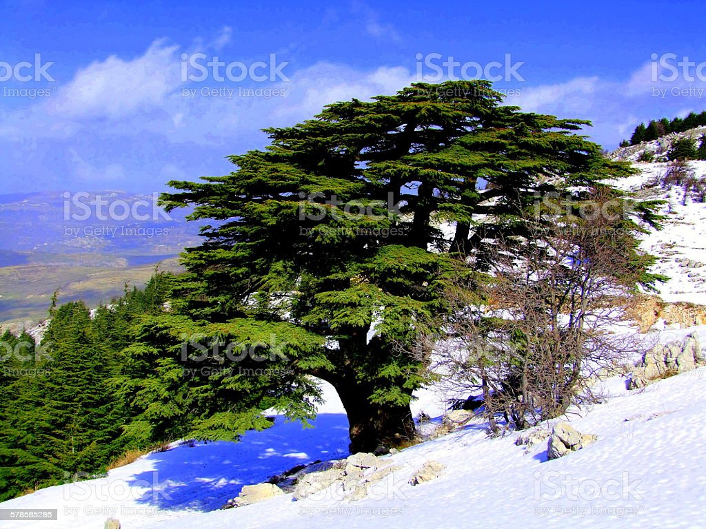 Cedars of Lebanon. Early Winter stock photo