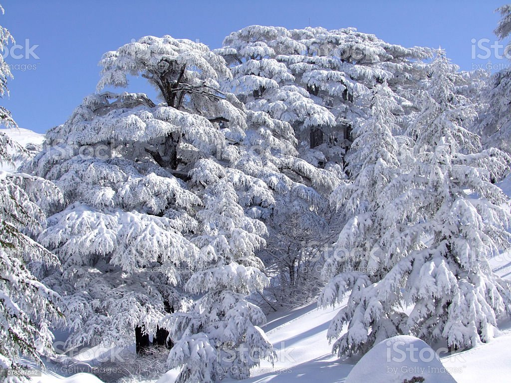 Cedars Trees of Lebanon, Snow storm stock photo