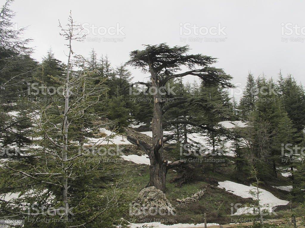 cedros del libano stock photo