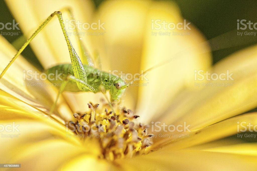 Ceicket on yellow daisy stock photo