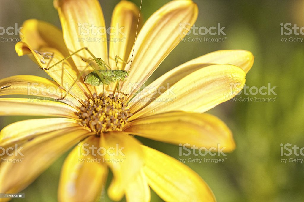 Ceicket on yellow daisy royalty-free stock photo