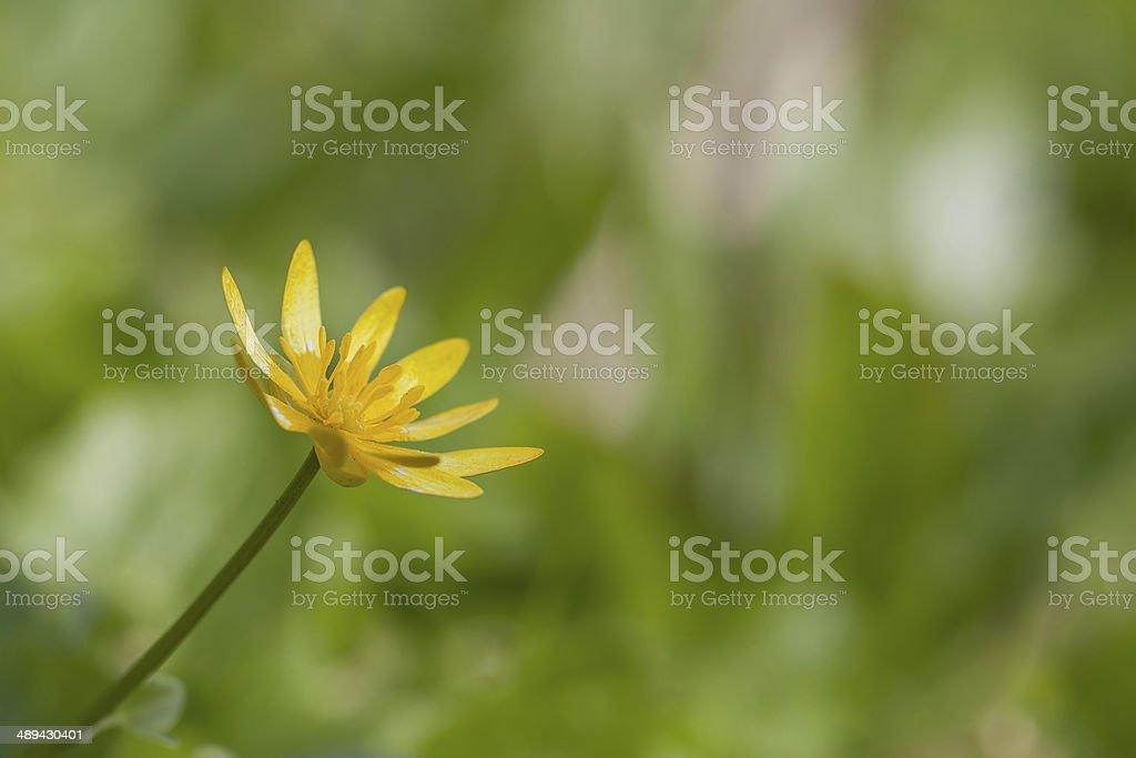 Celidonia flor foto de stock libre de derechos