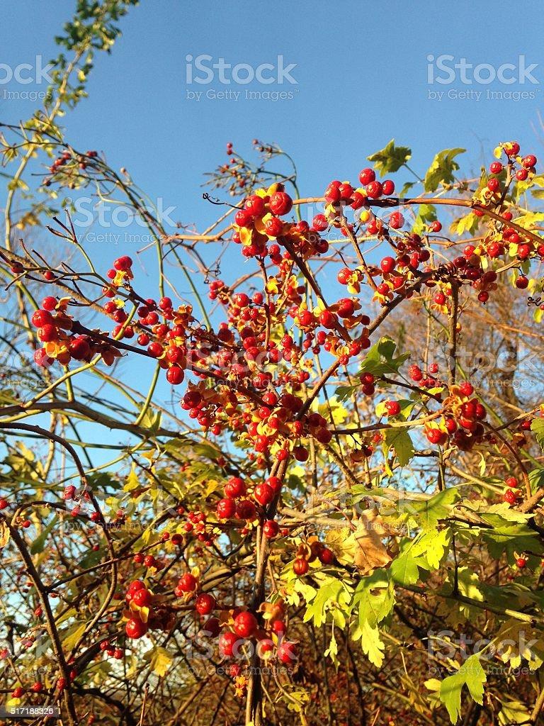 Celastrus Orbiculatus (Oriental Bittersweet) Plant with Red Seeds. stock photo