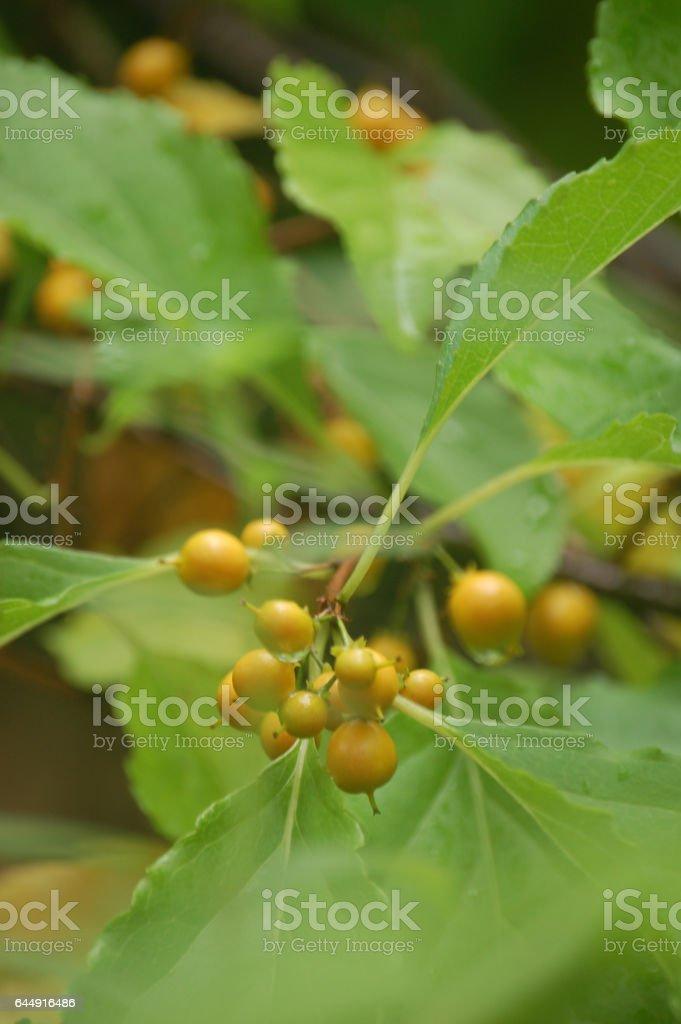 Celastrus Yellow Berries Bittersweet stock photo