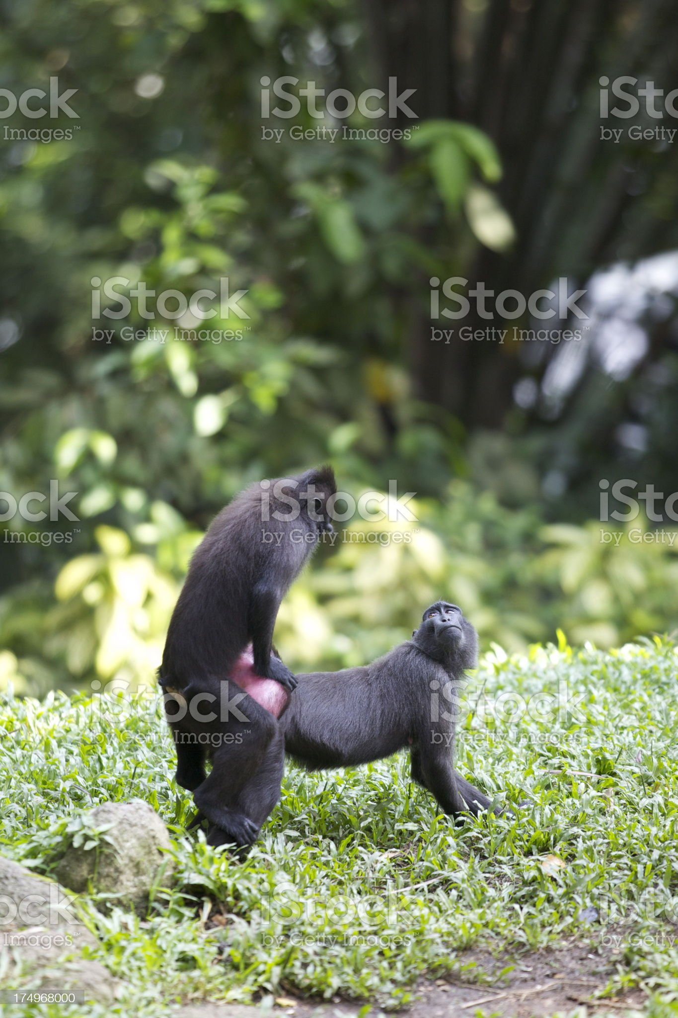 celebes crested macaque royalty-free stock photo