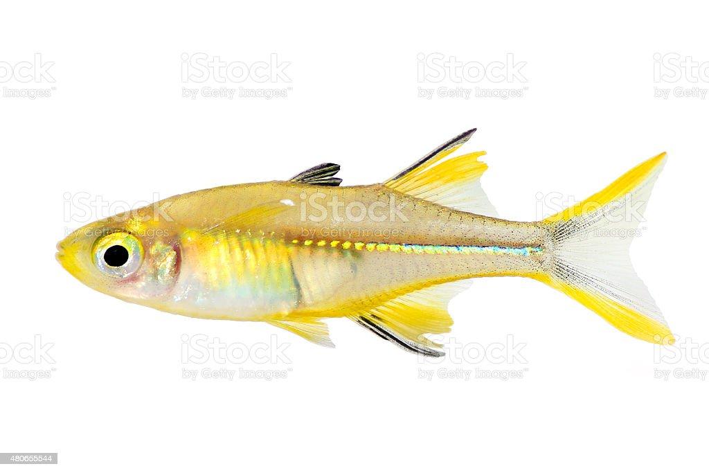 Celebes Rainbow Fish Marosatherina ladigesi rainbowfish aquarium fish isolated stock photo
