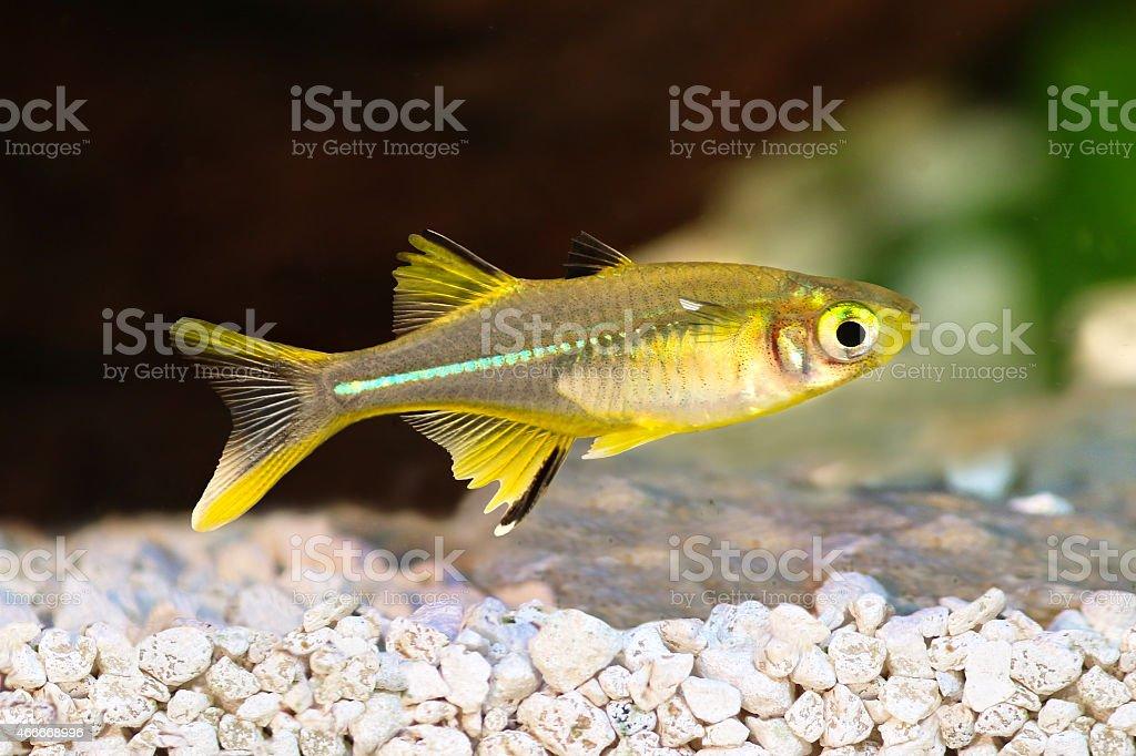 Celebes Rainbow Fish Marosatherina ladigesi rainbowfish freshwater tropical stock photo