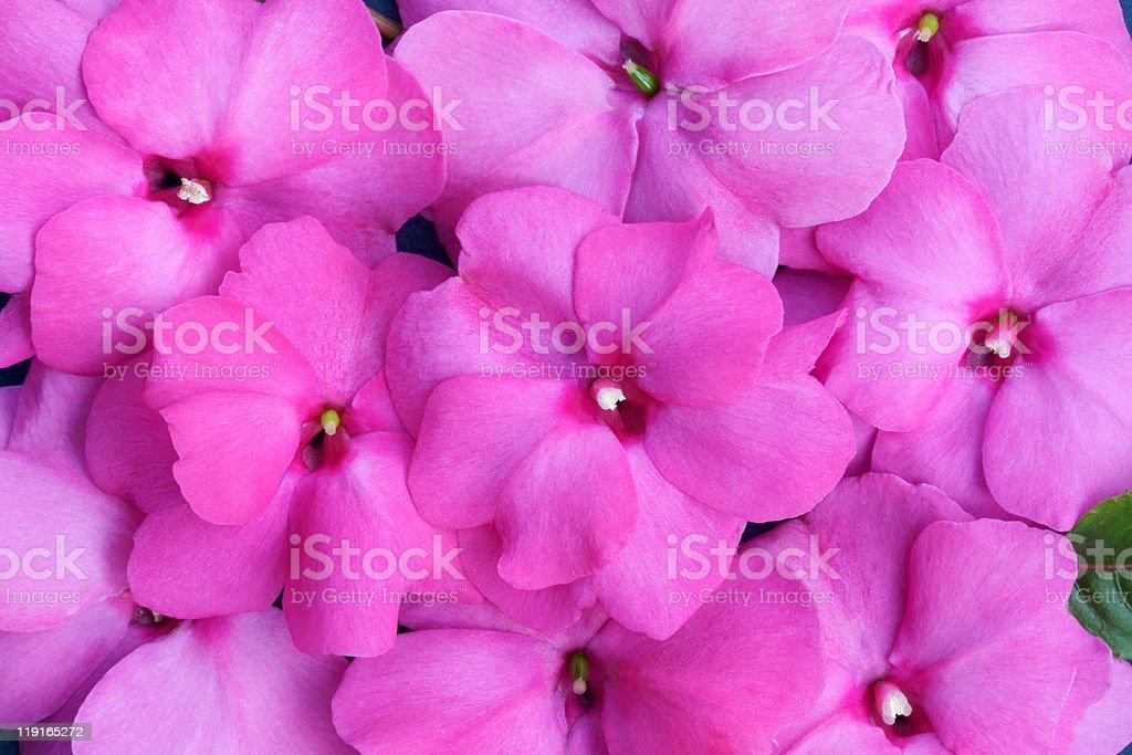Celebration Pink New Guinea Impatiens royalty-free stock photo