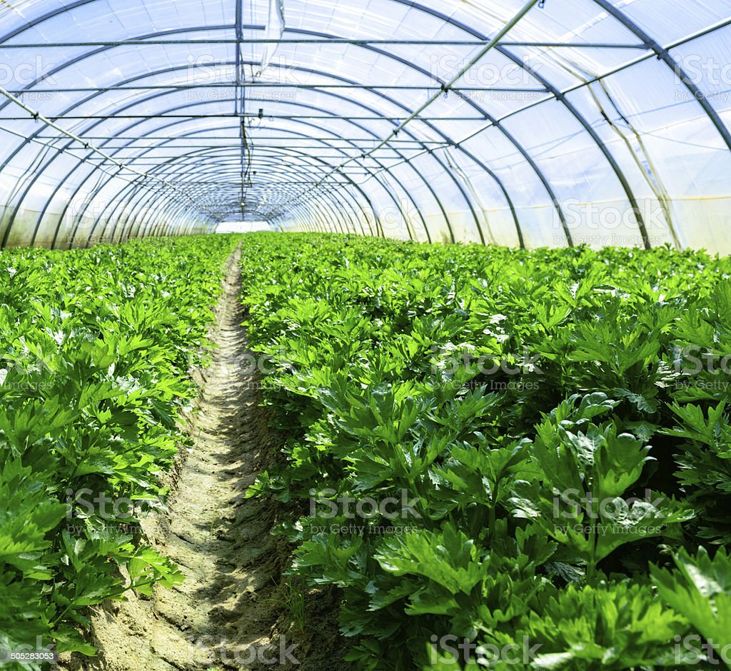 Celery greenhouse culture royalty-free stock photo