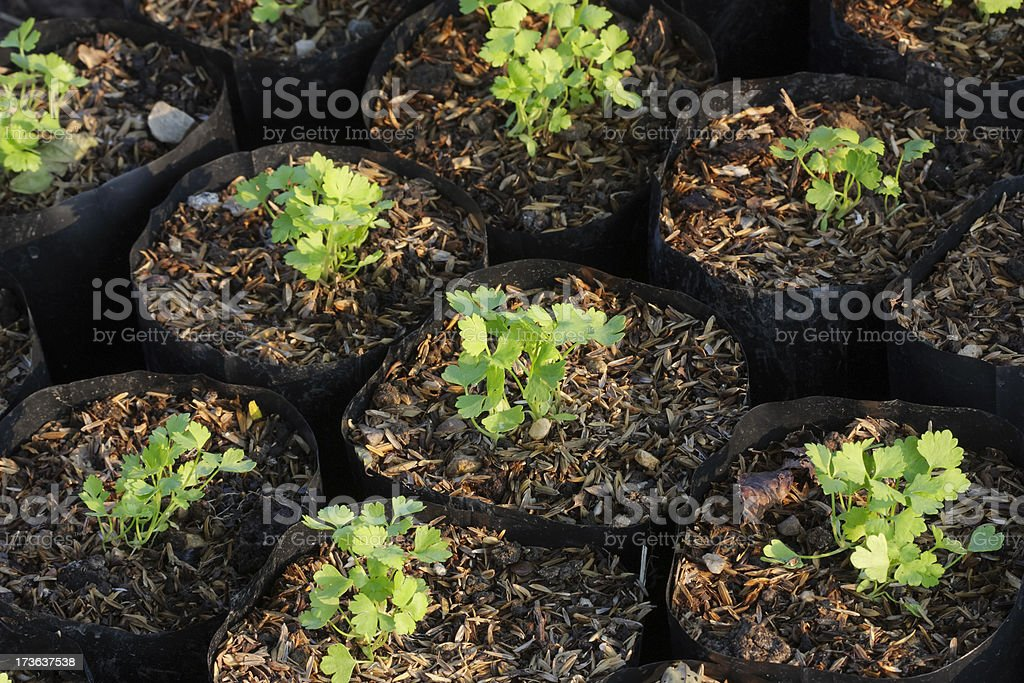 Celery sprouts royalty-free stock photo