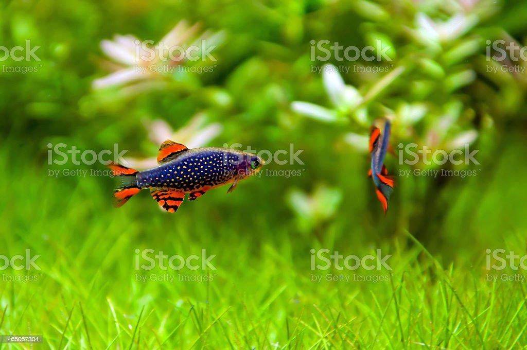 Celestial pearl danios (Danio margaritatus) stock photo