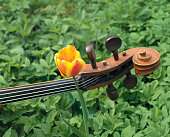 Cello And Tulip