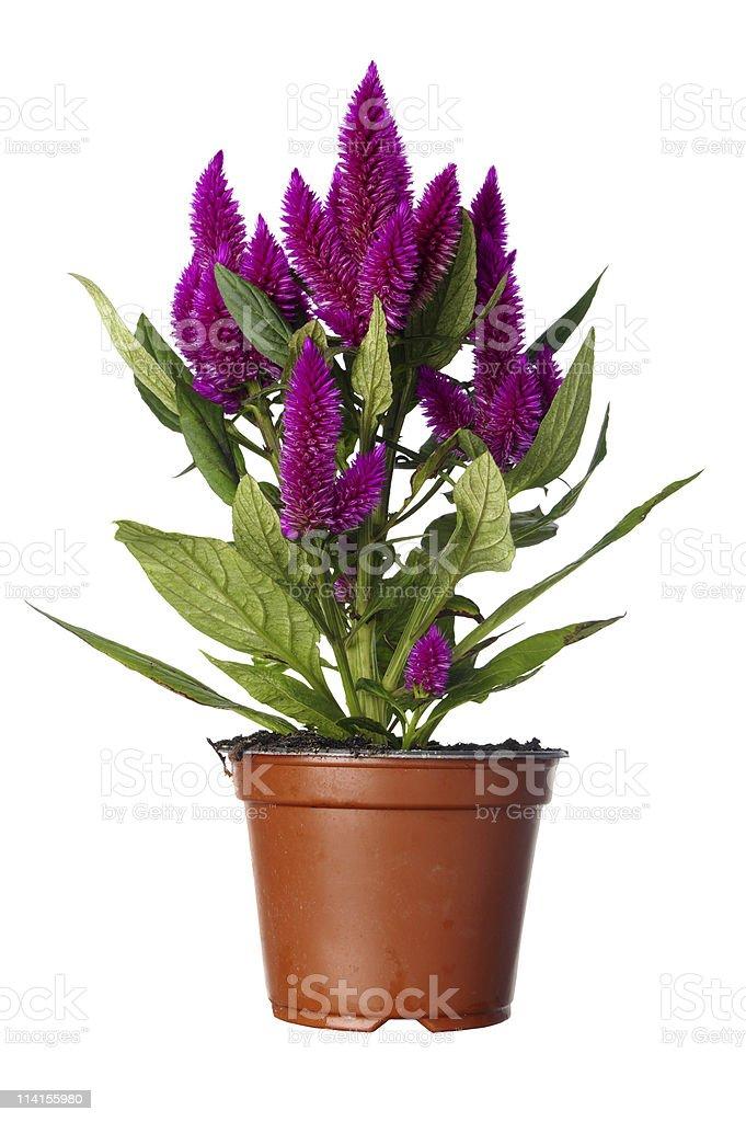 Celocia Caracas Plant In Pot stock photo
