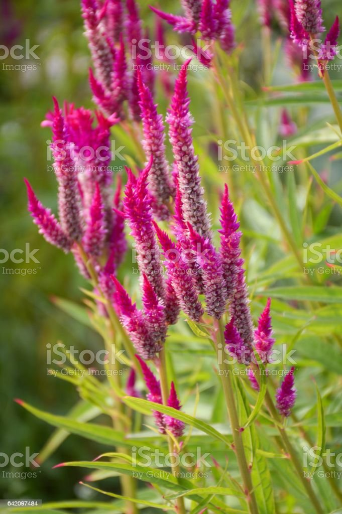 celosia argentea flower stock photo