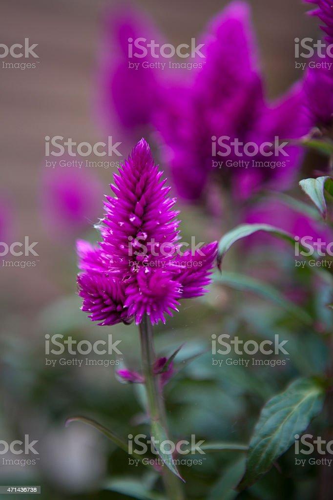 Celosia argentea, Hahnenkamm, Silber-BrandschopfCelosia argentea, Hahnenkamm, Silber-Brandschopf stock photo