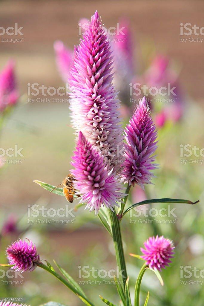 Celosia argentea stock photo